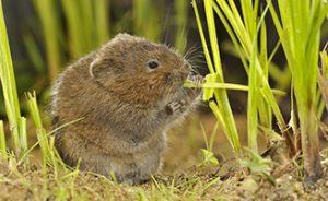 Watervole (Arvicola sapidus) (Photo: Rollin Verlinde/Vilda)
