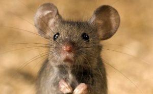 House mouse (Mus musculus) (Photo: Lars Soerink/Vilda)