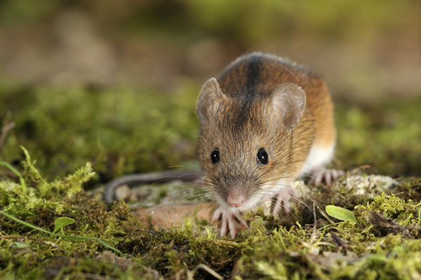 Striped field mouse (Apodemus agrarius) (Photo: Rollin Verlinde / Vilda)