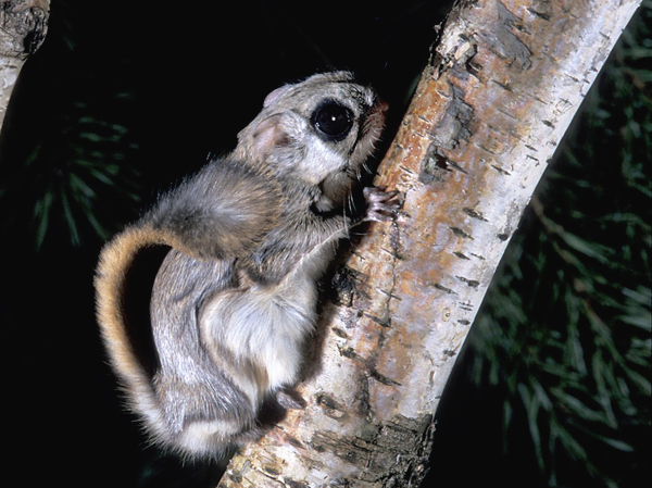 Siberian flying squirrel (Pteromys volans) (Photo: Rollin Verlinde / Vilda)