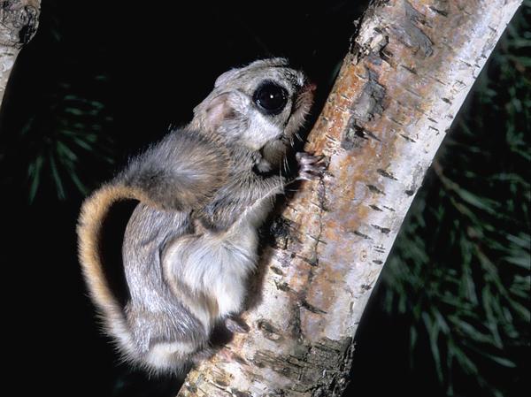 Siberian flying squirrel (Pteromys volans) (Photo: Rollin Verlinde / Vilda)