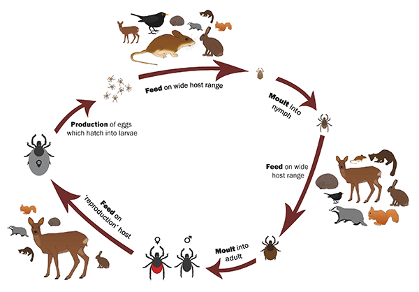 Life cycle of tick Ixodus ricinus