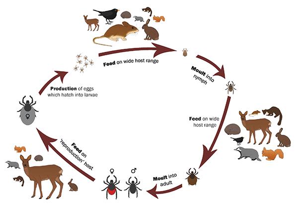 Life cycle of tick Ixodus ricinus