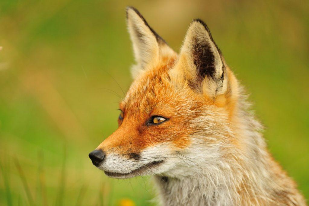 Fox (Vulpes vulpes) (Photo: Yves Adams / Vilda)