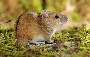 Striped field mouse (Apodemus agrarius) (Photo: Rollin Verlinde / Vilda)