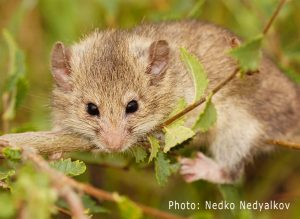 Mouse-tailed dormouse (Myomimus roachi) in Bulgaria (Photo: Nedko Nedyalkov)