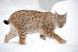 Lynx (Lynx lynx) (Photo: Yves Adams / Vilda)