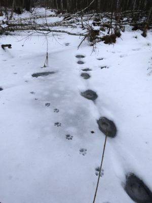 Tracks of lynx in snow (Photo: Wild Naliboki / www.naliboki.org)