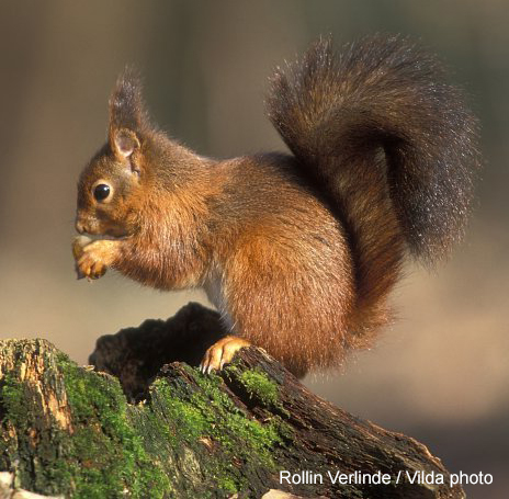 Red squirrel (Sciurus vulgaris) (Rollin Verlinde / Vilda)
