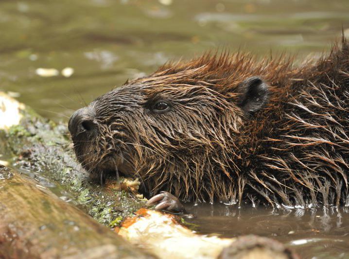 Beaver (Castor fiber) (Photo: Rollin Verlinde / Vilda)