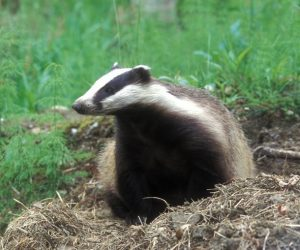 Badger (Meles meles) (Photo: Rollin Verlinde / Vilda)