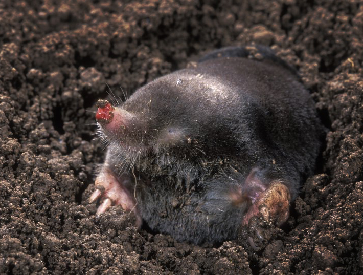 Mole (Talpa Euopaea) (Photo: Rollin Verlinde / Vilda)