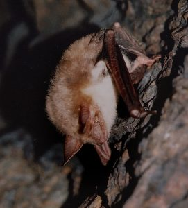 Greater mouse-eared bat (Myotis myotis) (Photo: Andriy-Taras Bashta)
