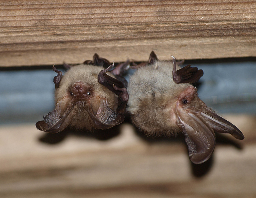 Brown long-eared bat (Plecotus auritus) (Photo: Andriy-Taras Bashta)