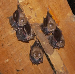 Horseshoe bats (Photo: Andriy-Taras Bashta)