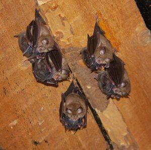 Horseshoe bats (Photo: Andriy-Taras Bashta)