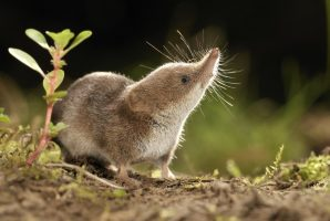 Eurasian pygmy shrew (Sorex minutus) (Photo: Rollin Verlinde / Vilda)