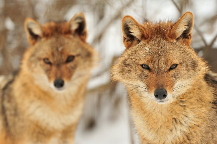 Golden jackal (Canis aureus) in Bulgaria_mirror image (Photo: Yves Adams / Vilda)