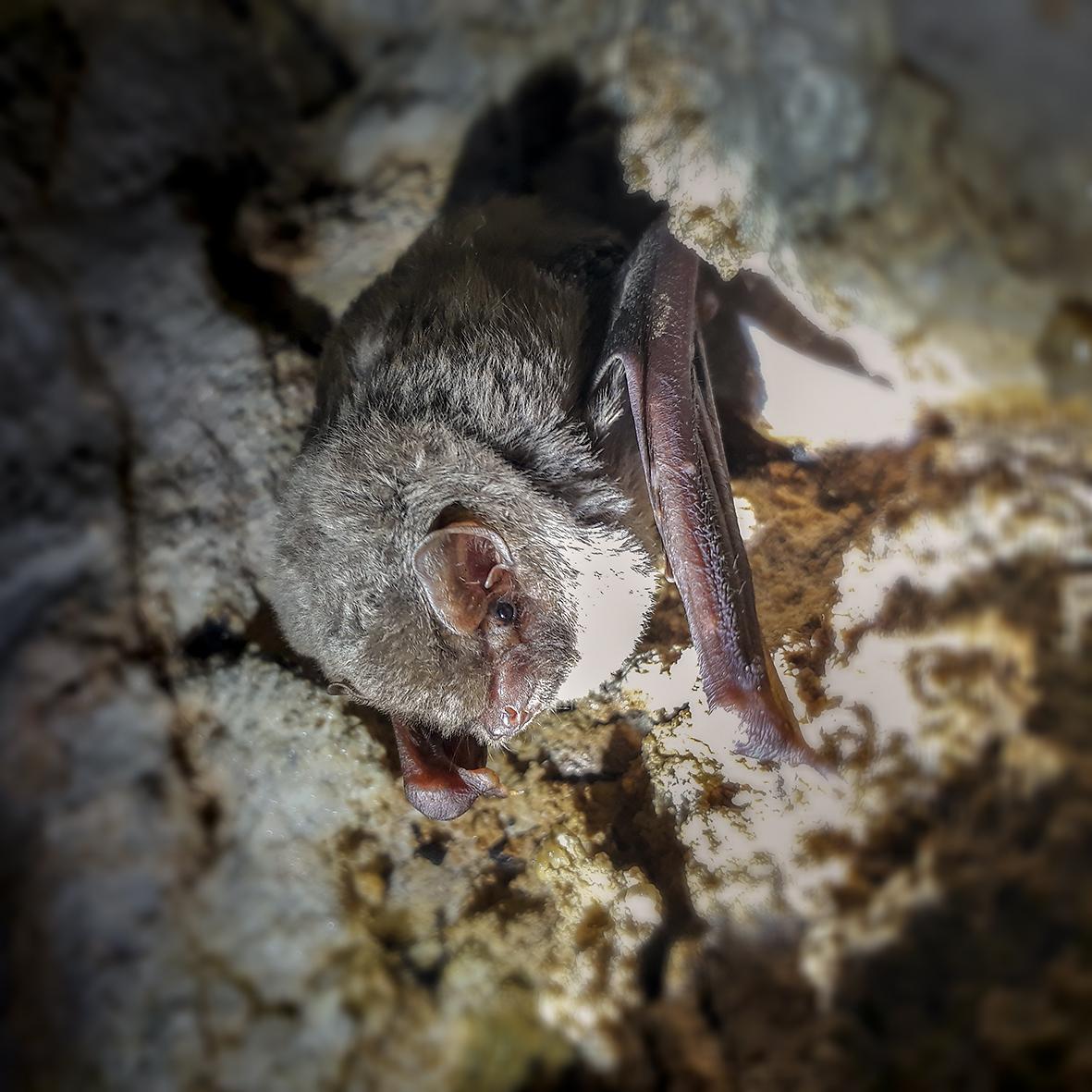 Schreibers' bat (Miniopterus schreibersii) (Photo: Bernd-Jan Bulsink)