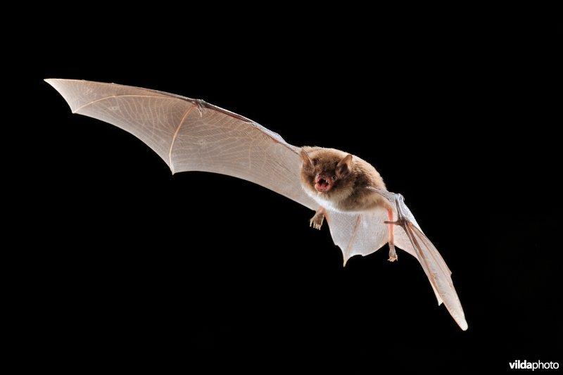 Daubenton's bat (Myotis daubentonii) (Photo: Rollin Verlinde / Vilda)