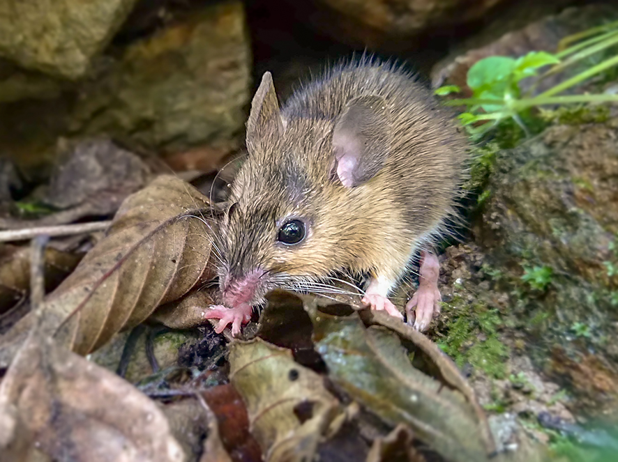 Western broad-toothed field mouse (Apodemus epimelas) (Photo: Nedko Nedyalkov)