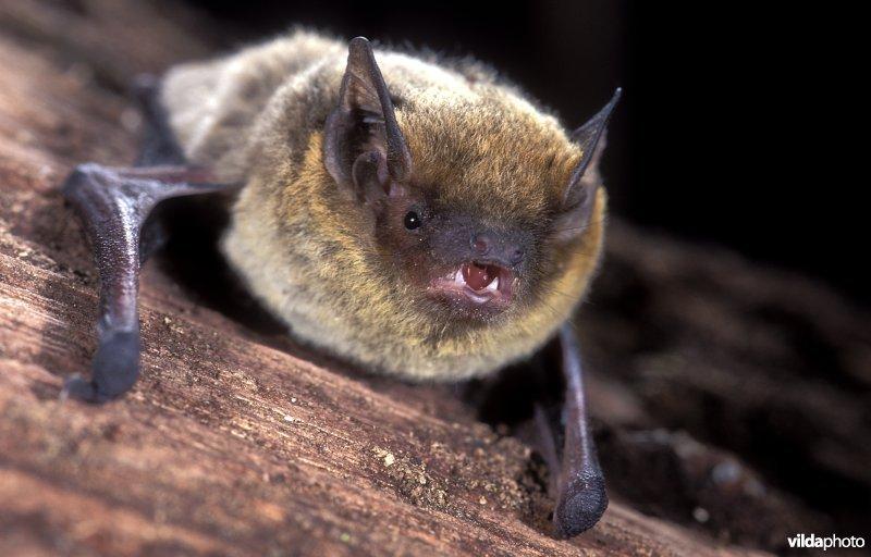 Kuhl's pipistrelle (Pipistrellus kuhlii) (Photo: Rollin Verlinde / Vilda)