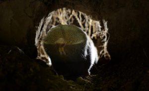 Lesser mole-rat (Spalax leucodon) (Photo: Rollin Verlinde / Vilda)