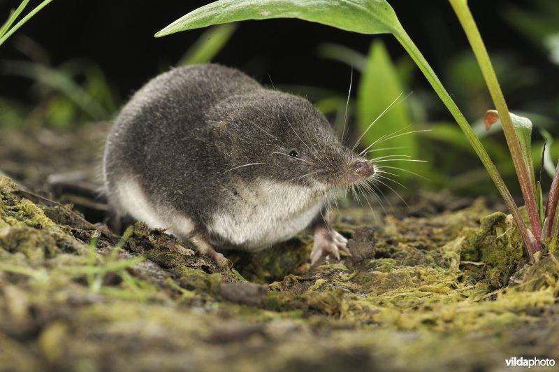 Miller's water shrew (Neomys anomalus) (Photo: Rollin Verlinde / Vilda)