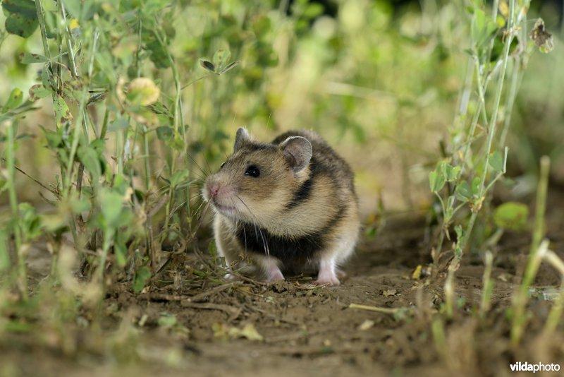 Romanian hamster (Mesocricetus newtoni) (Photo: Rollin Verlinde / Vilda)