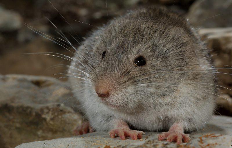 Snow vole (Chionomys nivalis) (Rollin Verlinde / Vilda)