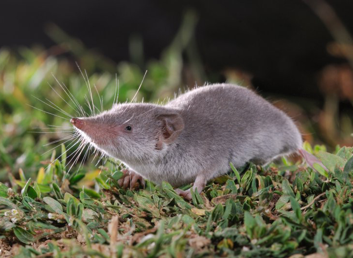 Lesser White-toothed Shrew (Crocidura suaveolens) (Photo: Rollin Verlinde / Vilda)