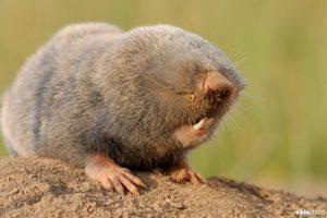 Lesser mole-rat (Nannospalax leucodon) (Rollin Verlinde / Vilda)
