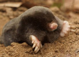 New mole species Talpa martinorum (Photo: Nedko Nedyalkov)