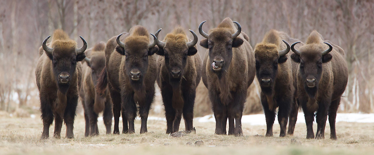 European bison (Bison bonasus) (Photo: Zubry)