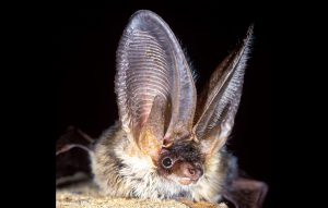 Bats of Albania_Cover photo (Photo: Hugh Clark)