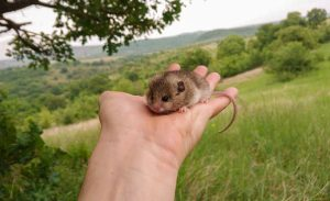 First caught Mouse-tailed dormouse in Bulgaria in 2019 (Photo: Nedko Nedyalkov)
