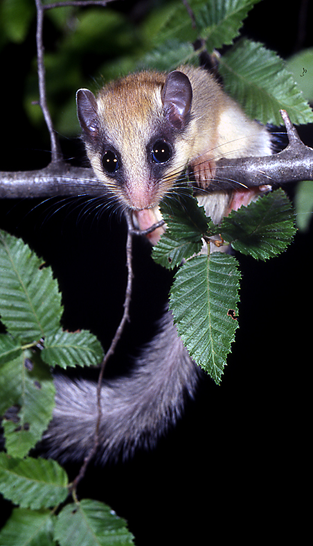 Forest dormouse (Dryomys nitedula) (Photo: Dennis Wansink)