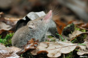 Greater white-toothed shrew (Crocidura russula) (Photo: Rollin Verlinde / Vilda)
