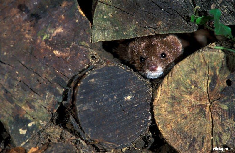 Least weasel (Mustela nivalis) (Photo: Rollin Verlinde / Vilda)