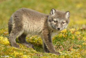 Young Artic fox (Alopex lagopus ) (Photo: Yves Adams / Vilda)