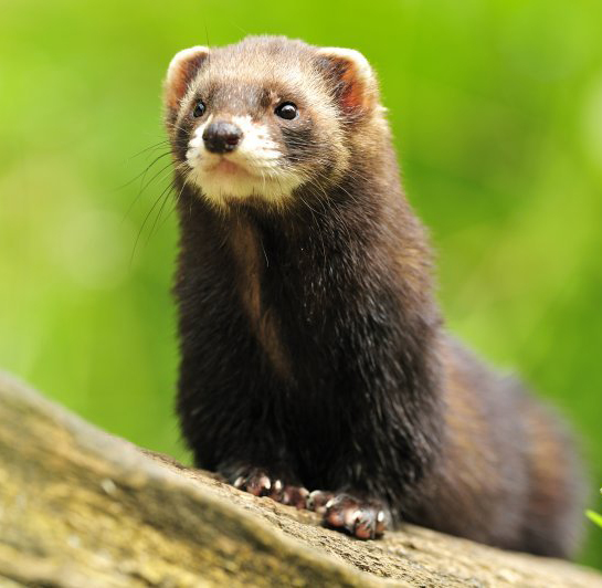 Polecat (Mustela putorius) (Photo: Yves Adams / Vilda)