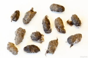 Barn owl pellets (Photo: Jeroen Mentens / Vilda)