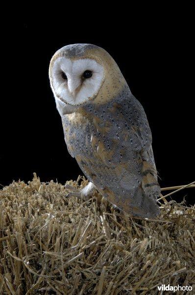 Barn owl (Tyto alba) (Photo: Rollin Verlinde / Vilda)