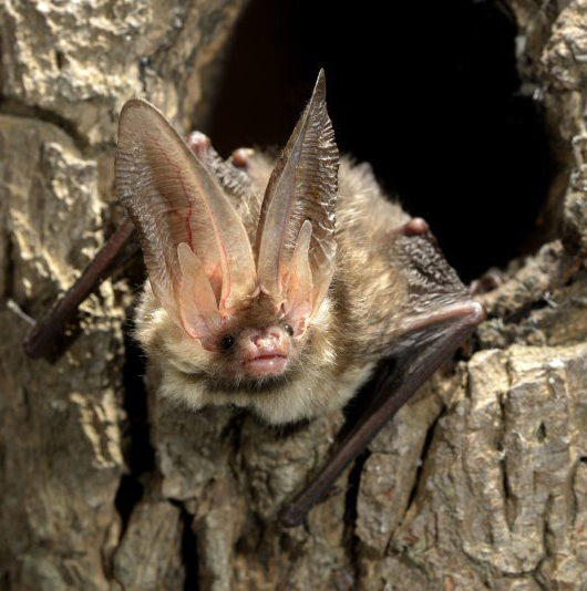 Brown long-eared bat (Plecotus auritus) (Photo: Rollin Verlinde / Vilda)