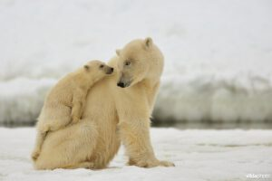 Polar bear with young (Ursus maritimus) (Photo: Yves Adams / Vilda)