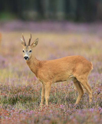 European roe deer (Capreolus capreolus) (Photo: Yves Adams / Vilda)
