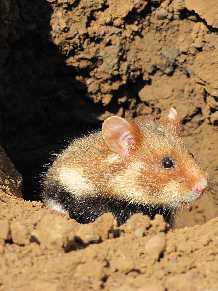 European hamster (Cricetus cricetus) (Photo: Mathilde Tissier / IPHC – LIFE Alister)