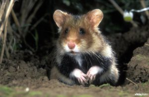 Hamster (Cricetus cricetus) (Photo: Rollin Verlinde / Vilda)