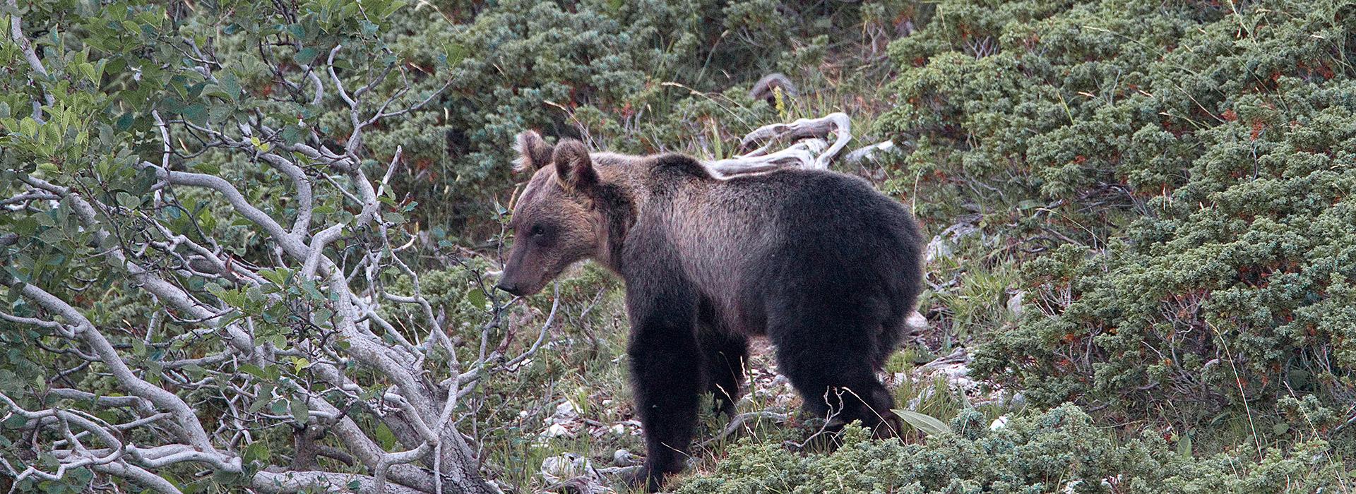 Marsican brown bear (Ursus arctos marsicanus) (Photo: Salviamo L'Orso)