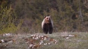 Marsican brown bear (Ursus arctos marsicanus) (Photo: Salviamo L'Orso)